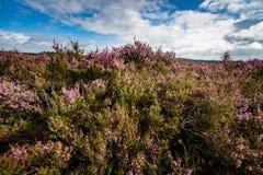 Purple flowering heath plants in a moorland Royalty Free Stock Image