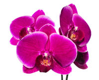 Blooming beautiful lilac orchid with bandlet is isolated on whit Royalty Free Stock Photos