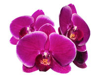 Blooming beautiful lilac orchid with bandlet is isolated Stock Photo