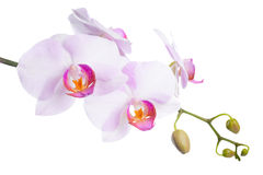 Blooming beautiful lilac orchid is isolated on white Royalty Free Stock Photography