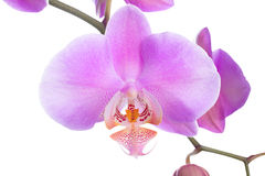Blooming beautiful lilac orchid is isolated on white Stock Image