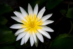 The blooming beautiful lotus white petal yellow pollen flower on. Black background Royalty Free Stock Photo