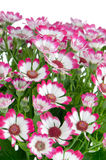 Blooming beautiful pink flowers Stock Photos