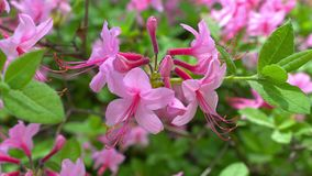 Blooming beautiful pink rhododendrons in the garden. stock video footage