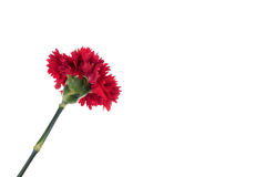 Blooming beautiful red flower isolated on white background. Stock Photo