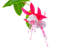 Blooming beautiful red and white fuchsia flower is isolated on w Stock Photos
