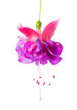 Blooming beautiful single flower of lilac and pink fuchsia is is Royalty Free Stock Photography