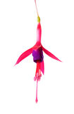 Blooming beautiful single flower of lilac and red fuchsia is iso Stock Photo