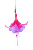 Blooming beautiful single flower of lilac and red fuchsia is iso Royalty Free Stock Photography