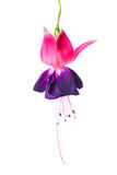 Blooming beautiful single flower of violet and red fuchsia is is Royalty Free Stock Photos