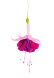 Blooming beautiful single flower of white and red fuchsia is iso Stock Image