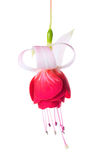 Blooming beautiful single flower of white and red fuchsia is iso Royalty Free Stock Image