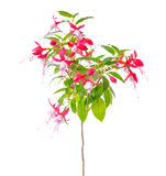 Blooming beautiful stam tree of red and white fuchsia flower is Stock Photography