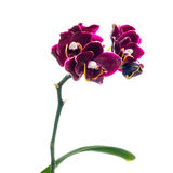 Blooming  beautiful twig of dark-cherry orchid, phalaenopsis is Stock Photography