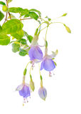 Blooming beautiful twig hanging fuchsia flowers in shades of blu Stock Photos