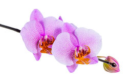 Blooming beautiful twig of lilac spotted orchid, phalaenopsis is Royalty Free Stock Photography