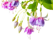 Blooming beautiful twig of lilac and white fuchsia flower is iso Stock Photo