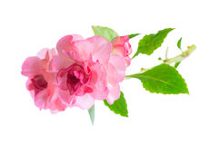 Blooming beautiful twig of pink Impatiens flowers is isolated on Royalty Free Stock Image