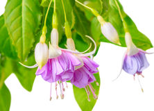 Blooming beautiful twig of purple and white fuchsia flower is is Stock Photography