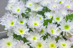 Blooming beautiful white flower full frame background Stock Images