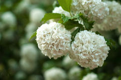 Chinese snowball viburnum flower heads are snowy. Delicate caves of white flowers on the branches. Royalty Free Stock Photos