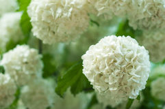 Chinese snowball viburnum flower heads are snowy. Delicate caves of white flowers on the branches. Royalty Free Stock Photo