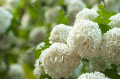 Chinese snowball viburnum flower heads are snowy. Delicate caves of white flowers on the branches. Royalty Free Stock Image