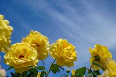 Blooming beautiful yellow roses flower with green leaves on shades of blue sky and white cloud background on sunshine day royalty free stock photography