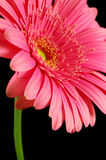 Blooming in Beauty. Bright pink gerber daisy against a black background royalty free stock photos