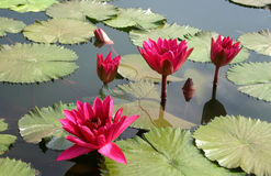 Blooming beauty. Waterlilies in a small pond royalty free stock photo