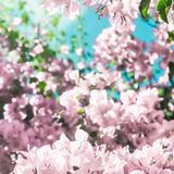 Pastel pink blooming flowers and blue sky in a dream garden, floral background. Blooming beauty, wedding invitation and nature concept - Pastel pink blooming stock photo