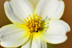 Blooming Beggarticks (Bidens). Stock Photos