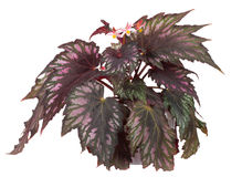 Blooming begonia in pot Stock Photography