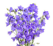 Blooming bellflowers Stock Image