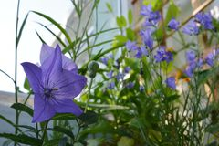 Blooming bellflowers in small urban garden on the balcony. Violet Platycodon grandiflorus. On the foreground stock photos