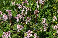Blooming  Bergenia Stock Photos