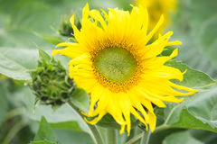 Blooming big sunflowers royalty free stock photos
