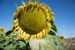 Blooming big sunflowers Helianthus annuus plants on field in summer time. Flowering bright yellow sunflowers background Stock Photo