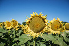 Blooming big sunflowers Helianthus annuus plants on field in summer time. Flowering bright yellow sunflowers background Royalty Free Stock Photos