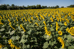 Blooming big sunflowers Helianthus annuus plants on field in summer time. Flowering bright yellow sunflowers background Royalty Free Stock Images