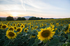 Blooming big sunflowers Helianthus annuus plants on field in summer time. Flowering bright yellow sunflowers background Stock Photography