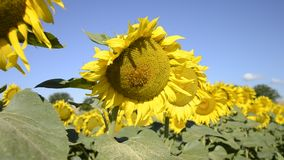 Blooming big sunflowers Helianthus annuus plants on field in summer time. Flowering bright yellow sunflowers background stock footage