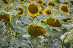 Blooming big sunflowers Helianthus annuus plants on field in summer time. Flowering bright yellow sunflowers background Royalty Free Stock Image