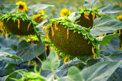 Blooming big sunflowers Helianthus annuus plants on field in summer time. Flowering bright yellow sunflowers background. Traditional rural summertime scene Stock Images