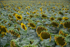 Blooming big sunflowers Helianthus annuus plants on field in summer time. Flowering bright yellow sunflowers background Stock Photos