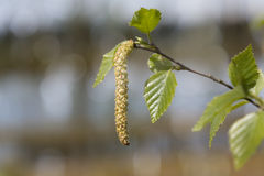 Blooming birch, closeup shot Stock Photo