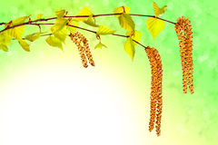 Blooming birch sprig with catkins. On abstract green background Royalty Free Stock Photography