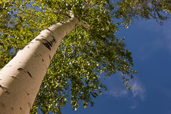 Blooming birch Royalty Free Stock Image