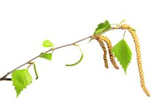 Blooming birch twig Royalty Free Stock Photo