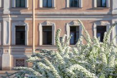 Blooming bird cherry in the sity. Blooming bird cherry on the background of a beautiful old historic building in an early sunny morning royalty free stock image